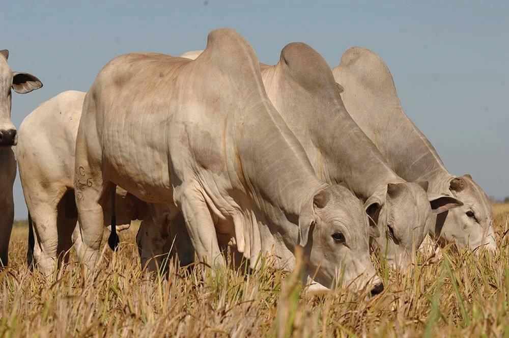 Alimentação alternativa para o seu gado em período de estiagem