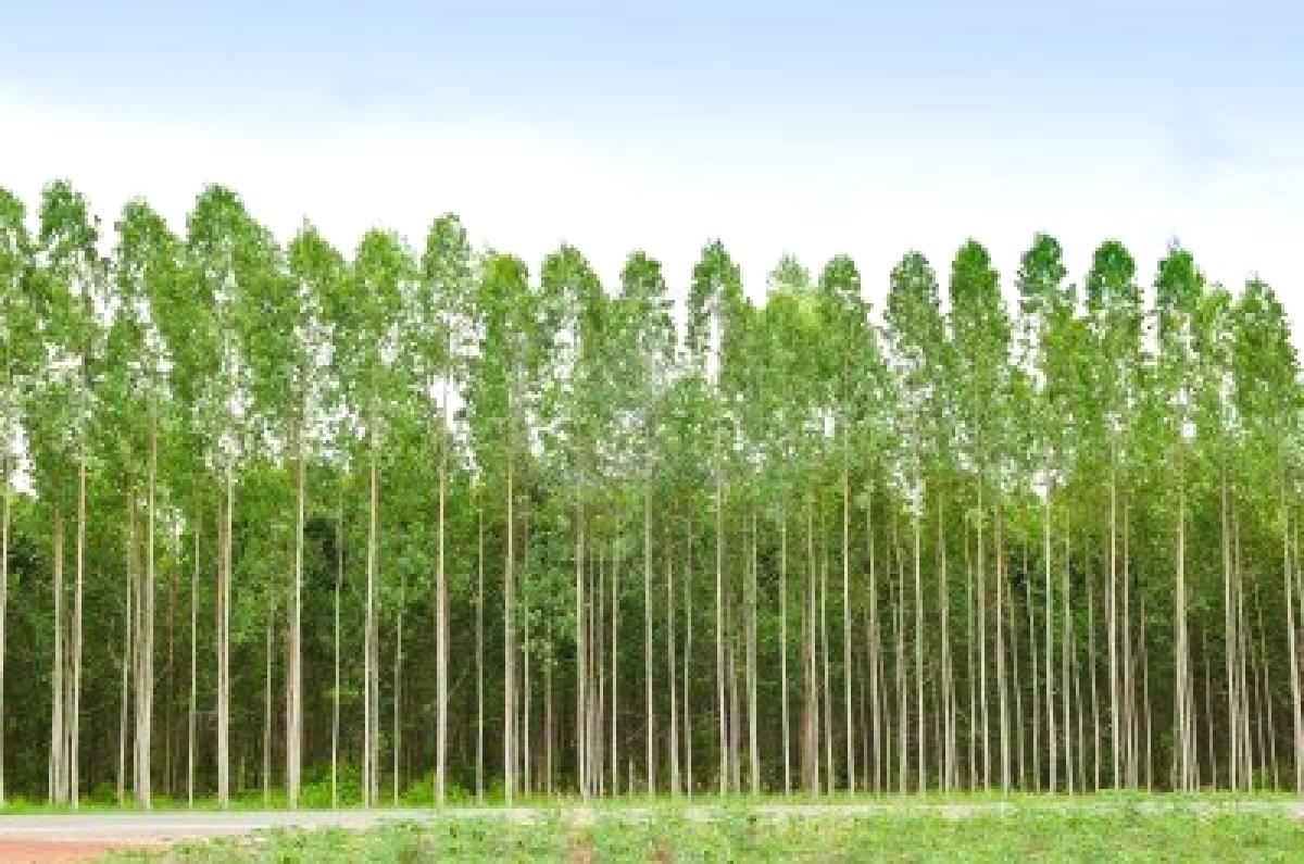 Bactérias podem beneficiar cultivo de eucalipto