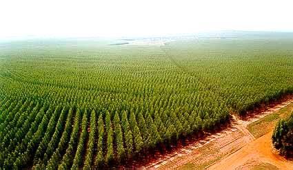 Diferenças entre Florestas Plantadas e Nativas