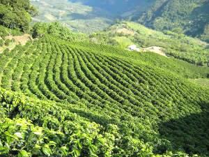 Influência do clima no cultivo de café
