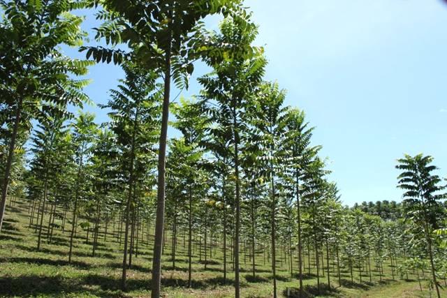Cultivar cedro australiano pode ser um excelente negócio