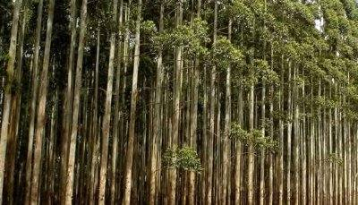 Evento debate aspectos e tendências da silvicultura brasileira