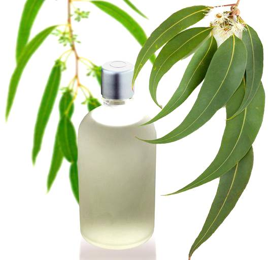 Conheça usos diversos do óleo de eucalipto