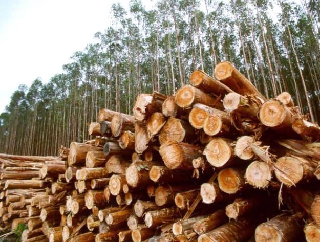 Falta de chuva compromete plantação de eucalipto