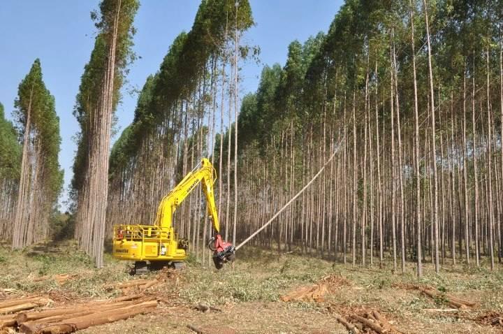 O plantio de eucalipto tende a aumentar nos próximos anos