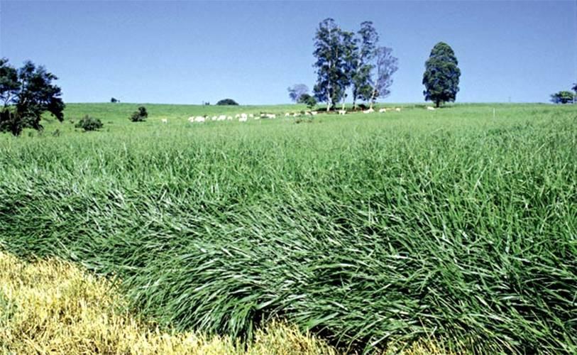 O uso de biomassa de forrageiras para gerar energia