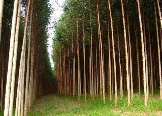 Vantagens da clonagem de eucalipto