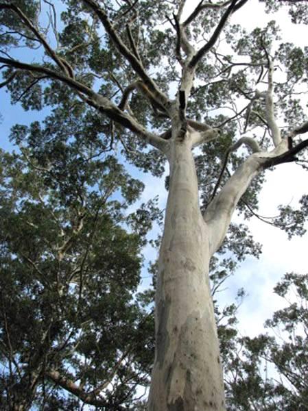 A maior árvore da Europa é um eucalipto
