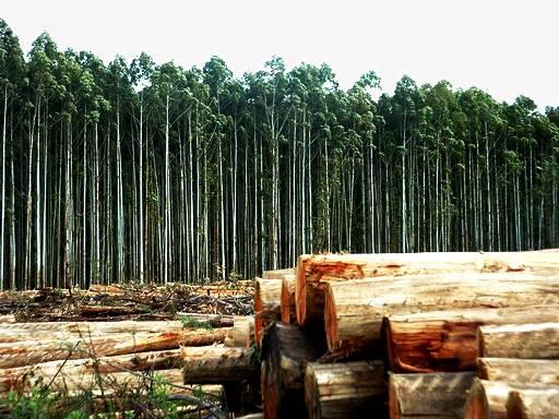 Por que investir na plantação de eucalipto?