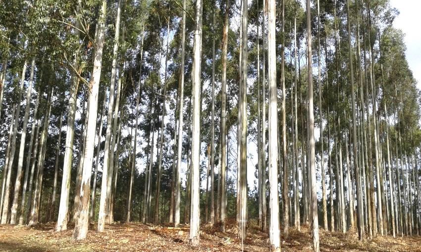 Água deve ser prioridade em projetos de plantio de eucalipto