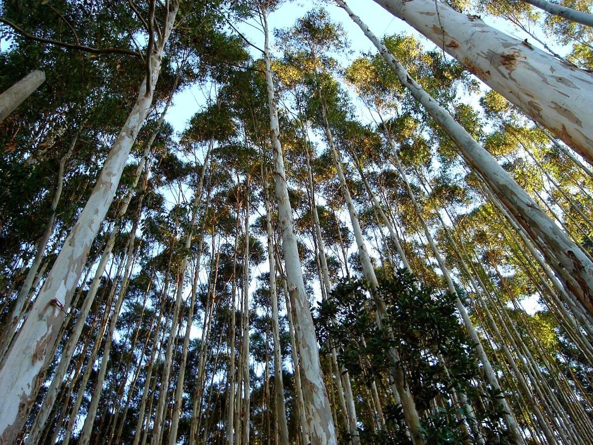 Desafios e oportunidades da madeira de eucalipto