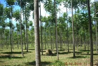 A importância da análise do solo no plantio de eucaliptos
