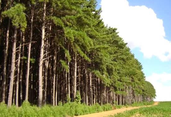 As plantações de pinus no Brasil