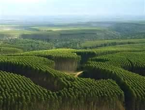 Eucalipto, sustentabilidade e qualidade produtiva