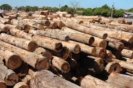 O eucalipto como madeira nobre e sustentável