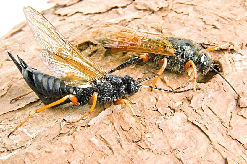 O combate à vespa de madeira