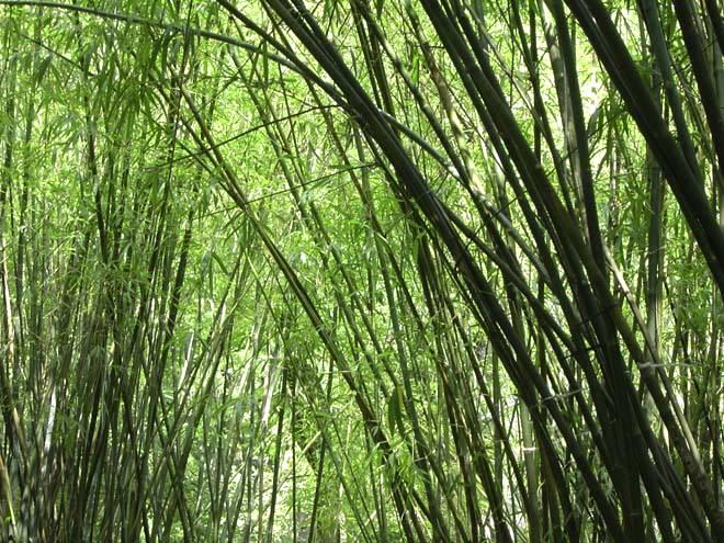 Bambu tem potencial para ser o produto brasileiro do futuro