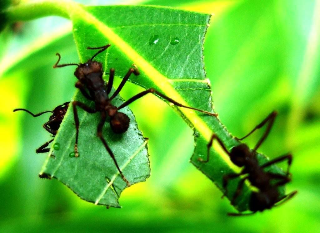 Formigueiros na cultura de eucalipto