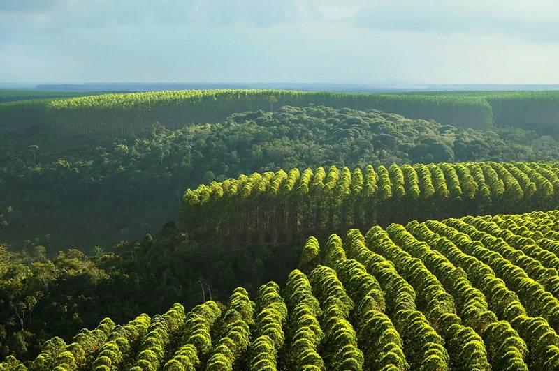 Silvicultura brasileira
