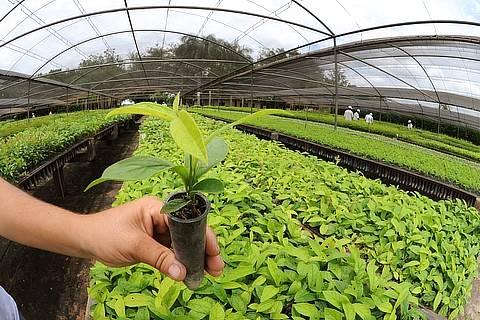 Qualidade da muda é essencial para o sucesso do plantio de eucalipto