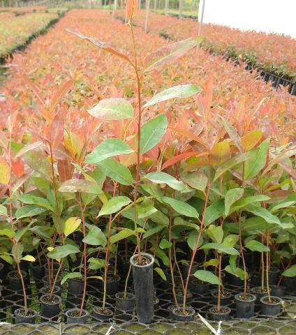 Por que investir no plantio de eucalipto?
