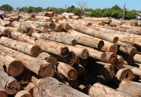 Madeira de eucalipto: Desafios e oportunidades