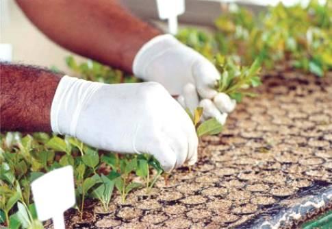 A qualidade da muda de eucalipto é essencial para o sucesso do plantio
